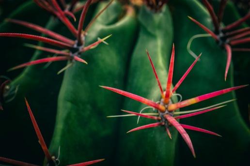 Caltrops - Cactus
