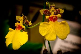 Carmen Miranda - Orchids