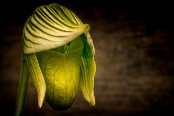 Duckbill - Lady Slipper Orchid