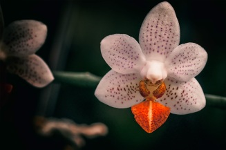 Flame Tongue - Moth Orchid
