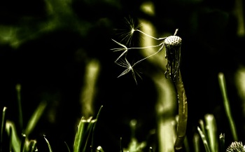 Holy Trinity - Dandelion Photograph