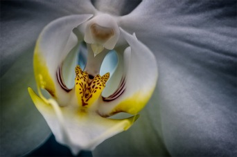 Iced - Moth Orchid