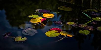 Lily Pads - Reynolda Gardens