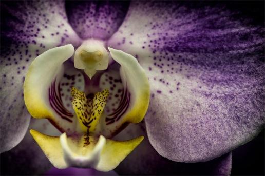 Mothrid - Moth Orchid