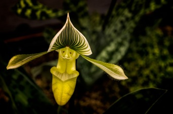 Open Arms - Lady Slipper Orchid