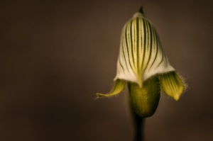 Shy - Lady Slipper Orchid