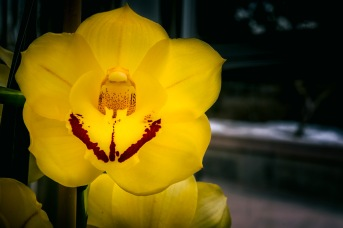 Smiley - Moth Orchid