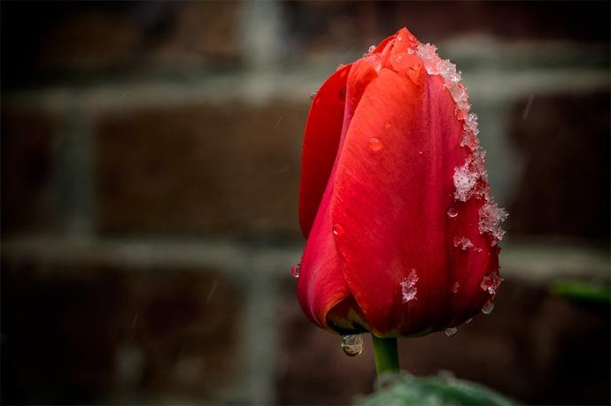Springtime in Colorado - Tulip in April Snowstorm