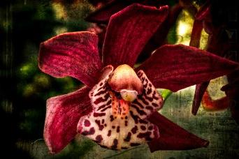 Starfish - Orchid