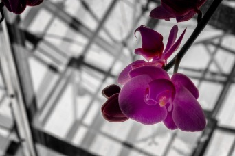 Upskirt - Moth Orchid
