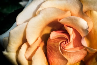 Vortex - Rose Photograph