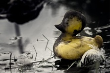 Fitting In: Wild Rubber Duck