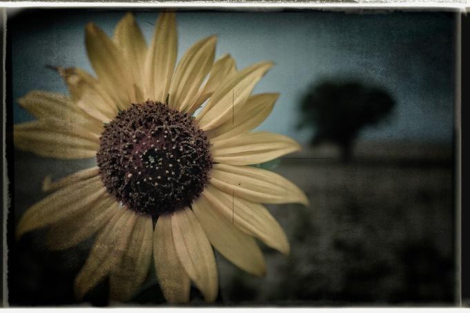 Sunflower: Dacono CO