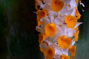 Orchidelirium: Dreamsicle
